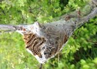 Brown Tail Moth Caterpillar Hibernation