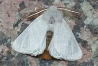 Brown Tail Moth