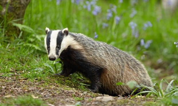 A photo of a badger